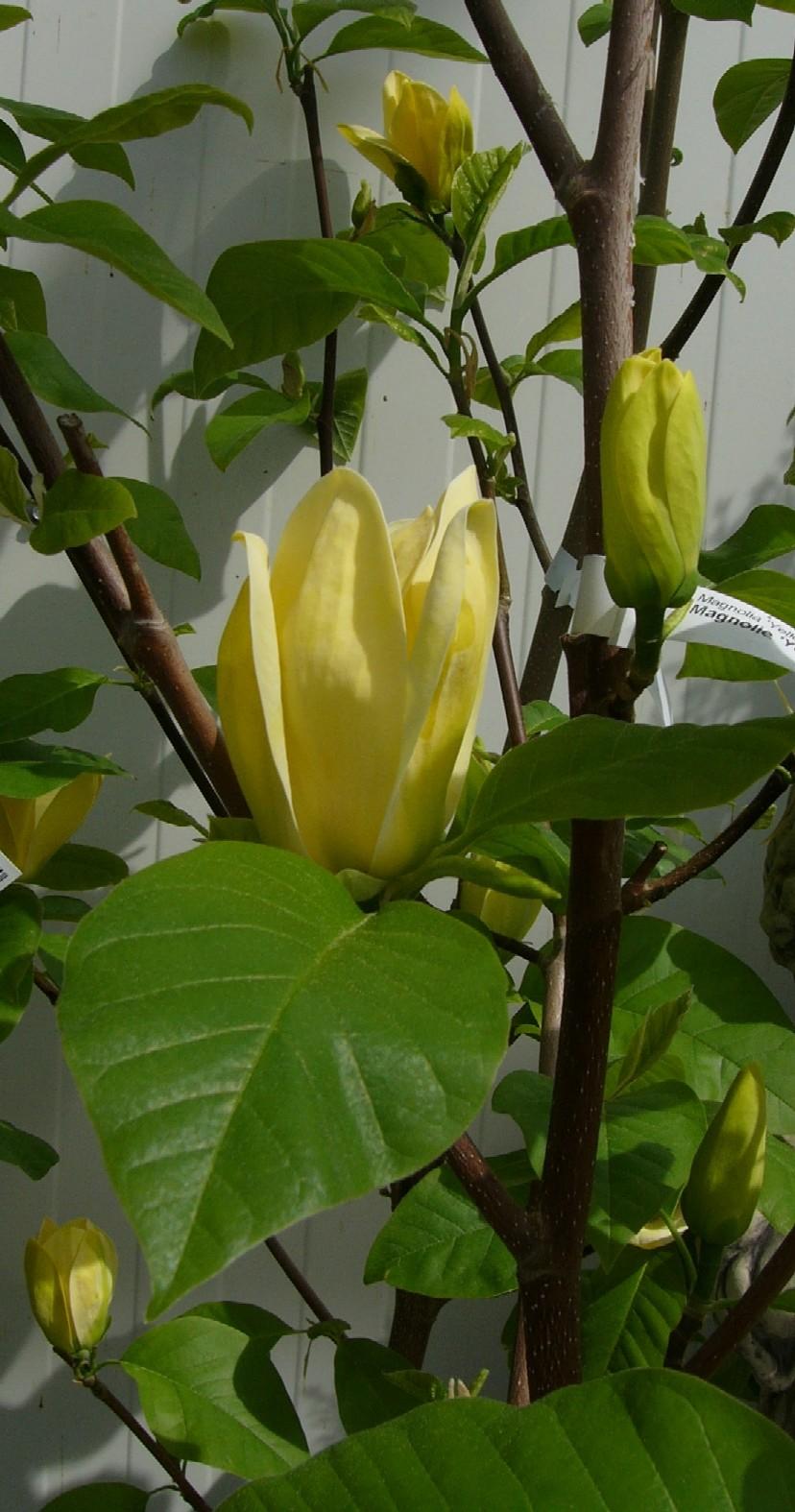 gelbe magnolie magnolia 39 yellow river 39 gelbe magnolie. Black Bedroom Furniture Sets. Home Design Ideas