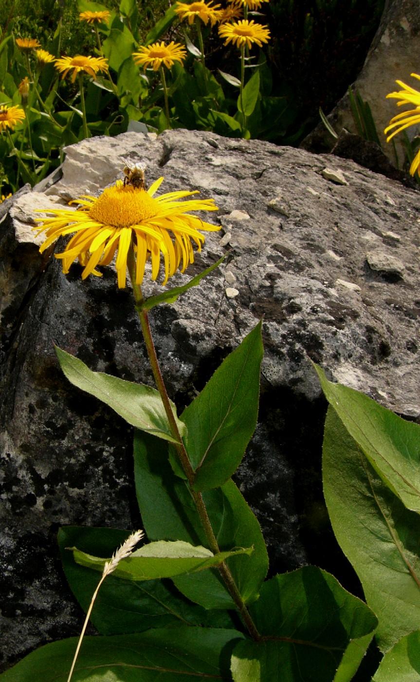 Botanischer Garten Italien Gardasee: Telekia