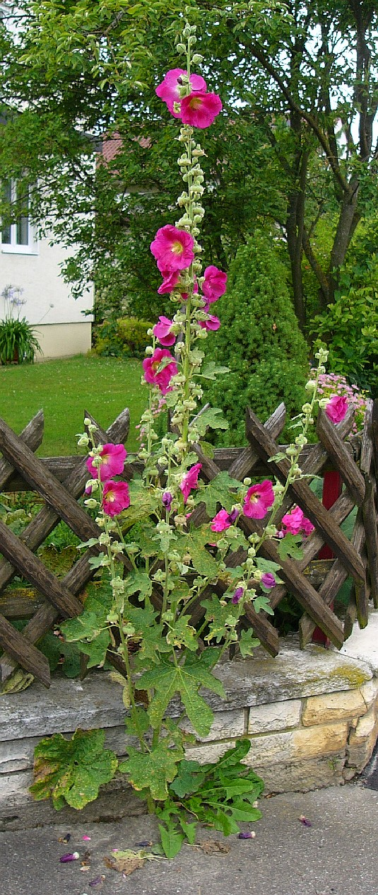 stockrose alcea rosea amazing photo. Black Bedroom Furniture Sets. Home Design Ideas